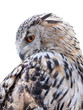 grey owl on white background