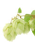 Fresh green hops bunch.