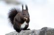 scoiattolo roditore mentre mangia in stagione invernale
