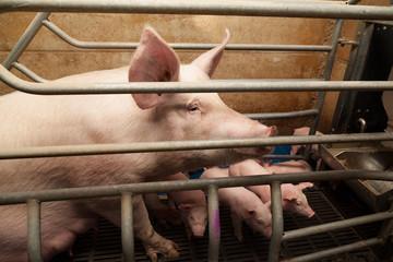 cochon derrière barreaux