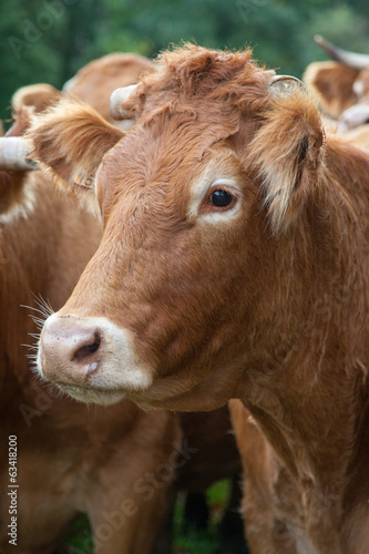 close up of a limousin cow