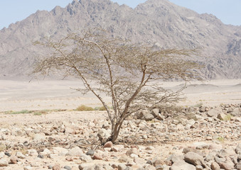 Acacia tree growing in a rocky desert