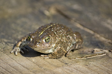 Natterjack Toad Facing Camera