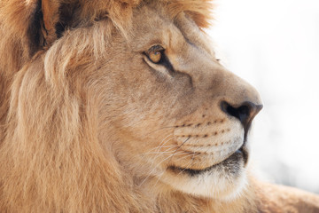 Beautiful male lion wisely looking into distance