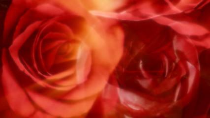 red roses, loop