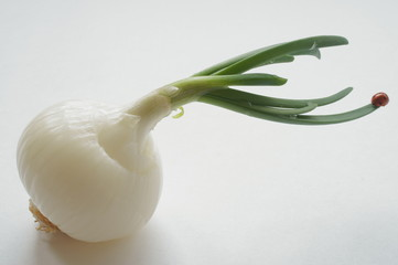 La bella coccinella sulla cipolla