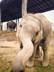 Curious baby elephant in Bardia, Nepal plays with the camera