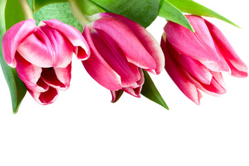 pink tulips on a white background, isolated