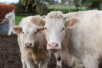 Charolais Cows Duo