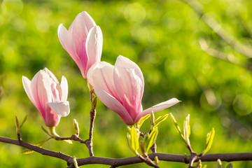 magnolia flowers on a blury background