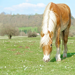 Horse grazing in a field, Italy