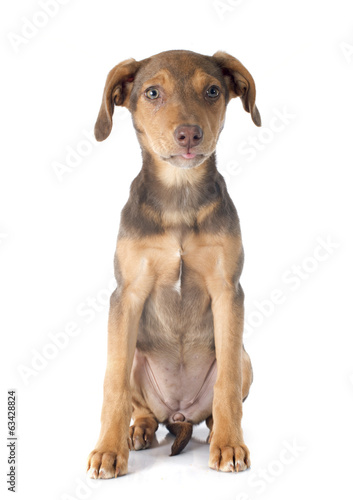 mix breed doberman