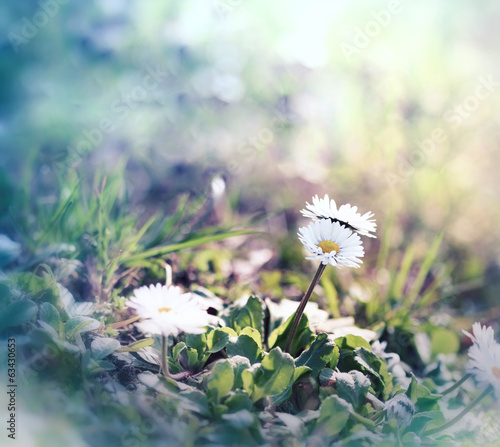 Little daisy in spring, in a meadow