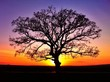 canvas print picture - Big tree silhouette, sunset