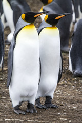 King Penguin - Couple Dreaming The Future