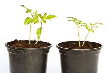 Tomatenpflanze, Tomato plant