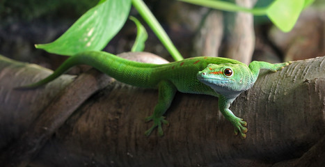 A green Gecko, perched on a branch