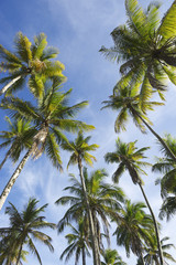 Coconut Palm Trees Standing in Blue Sky
