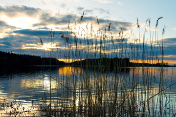 Reeds at sunset
