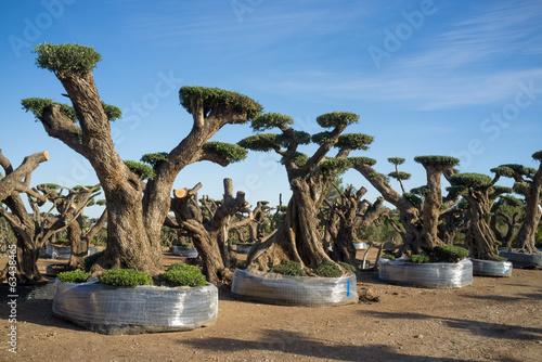 Foto op Plexiglas Olijfboom Olive trees