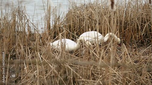 Swans in Marsh Nest Building