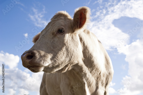Looking up at a cow