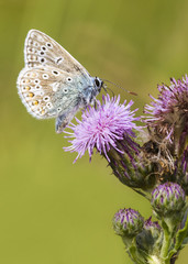 common blue, Butterfly