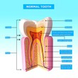 3D Illustration of teeth anatomy with names