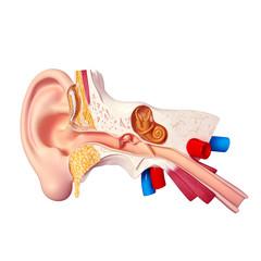 anatomy of human ear