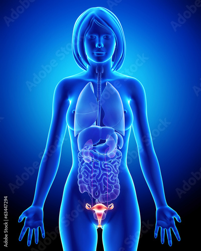 Female bladder anatomy in blue