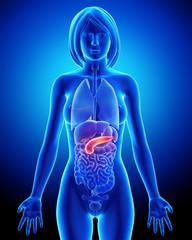 Female biliary anatomy in blue