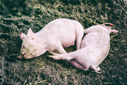 Two pink pigs resting in dirt
