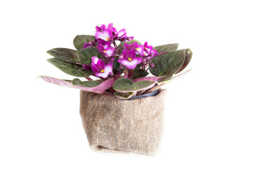 Blossoming violet on a white background, it is isolated