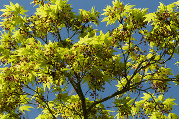 Maple tree new leaves and flower buds