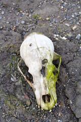 Polar bear skull area Novaya Zemlya