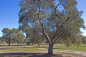 olive trees grove