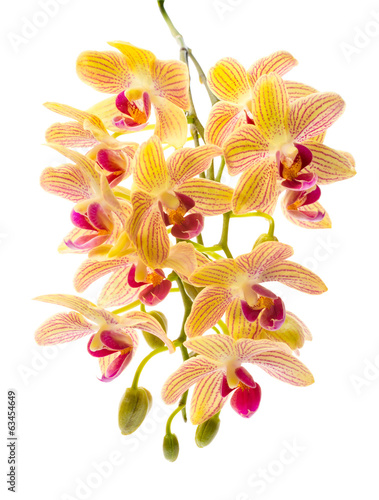 Blooming branch orange striped orchids, phalaenopsis is isolated