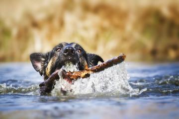 dog swimsd