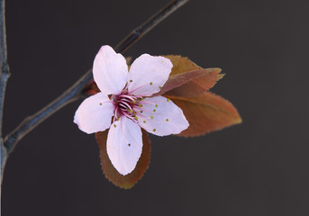twig of sakura on black background