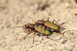 Copulating tiger beetles. Macro