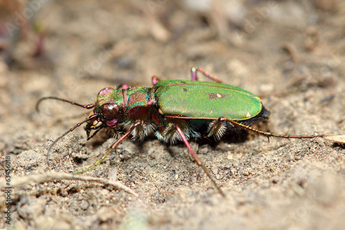 Tiger beetle. Macro