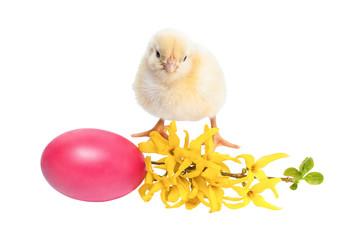 Yellow newborn baby chicken isolated on white