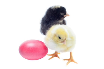 Cute black and yellow baby chickens