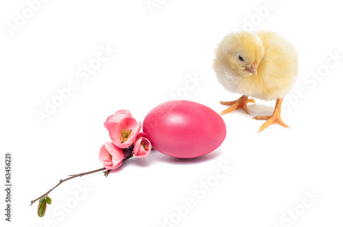 Yellow newborn baby chicken isolated on white