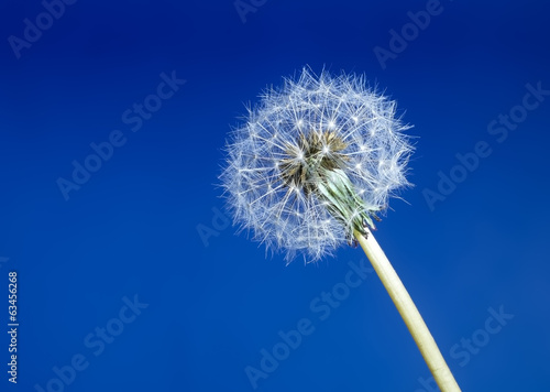 Dandelion seed head aka clock over blue background
