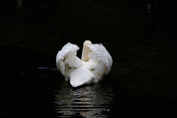 White swan on the forest lake