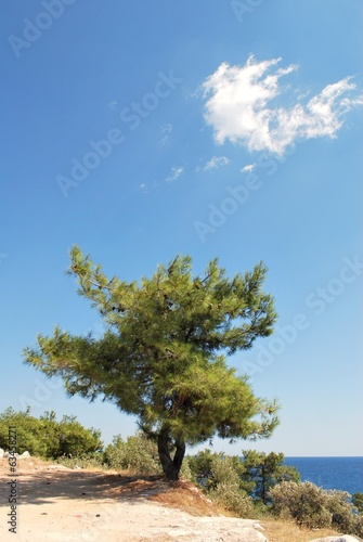 Lonely pine at the seaside