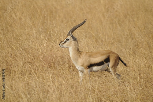 Gazelle de thompson