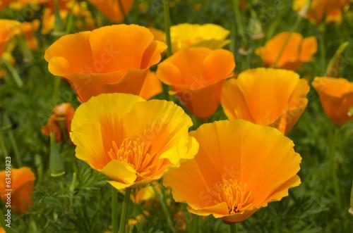 Poster Poppy California poppy