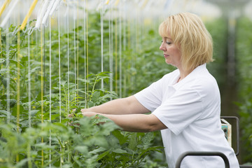 Blond woman 35 years old working in a greenhouse